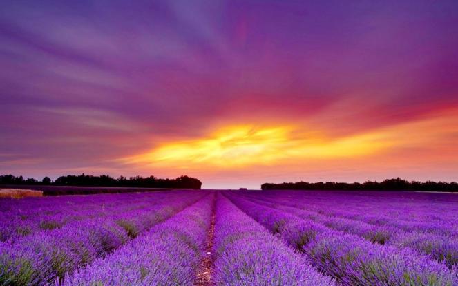 lavendar england public domain