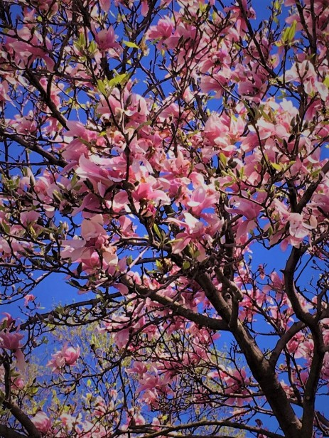 magnolias 1